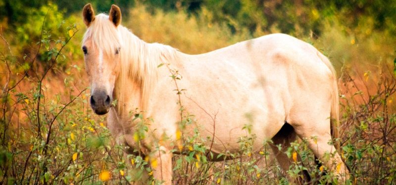 The Criollo Horse
