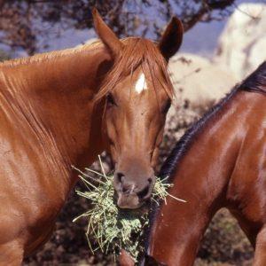 Polo Horse Feeding