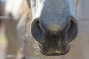 Horses nose